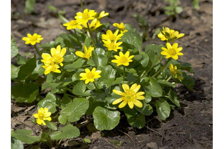 od-essbare-pflanzen-Scharbockskraut-COLOURBOX5817129-jpg-fotoshowBig-8787079c-1563670.jpg